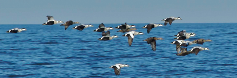 Spring migration of Eiders